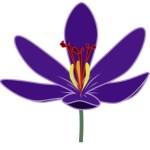 Crocus blossum